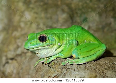Colorful green frog in natural environment on a stone