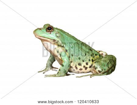 European common green frog isolated over white background