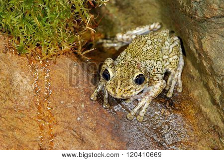 Sandy tropical frog in natural environment on a wet stone