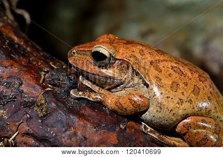 Orange spotted frog in natural environment. Tropical frog.