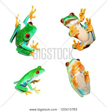 Collage Of Red-eye Frogs Agalychnis Callidryas Isolated On White