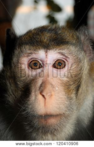 Macaque monkey face closeup. Ape with brown eyes.