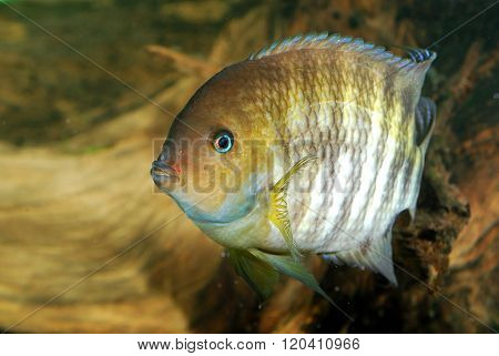 Cichlasoma sajica T-bar cichlid fish in aquarium