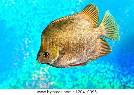 Marine fish Scatophagus argus atromaculatus over bright cyan background