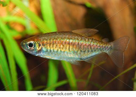 Small freshwater fish in an aquarium environment