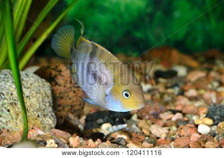 Cichlasoma sajica fish T-bar cychlid in natural environment with green plants