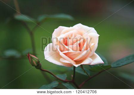 White with orange rose
