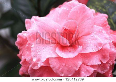 Pink Camellia flower closeup