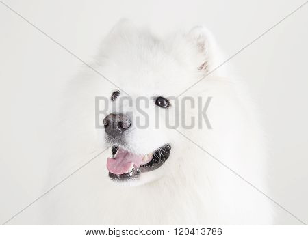 Samoyed Dog (on White)