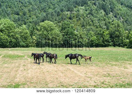 Arabian Horses In Catalunya