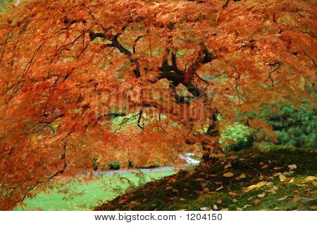 Japanese Red Tree