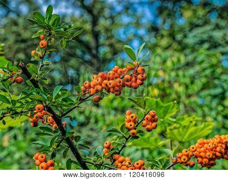 Orange Berries On A Tree