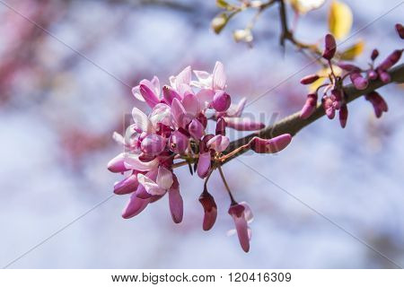 background branch of Judas tree blossoms