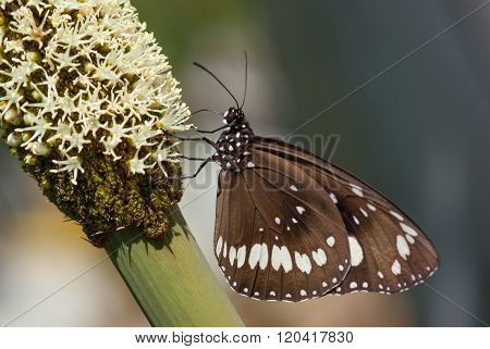 Butterfly on grass tree flowers, Xanthorrhoea