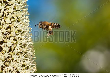 Bee on grass tree flowers, Xanthorrhoea