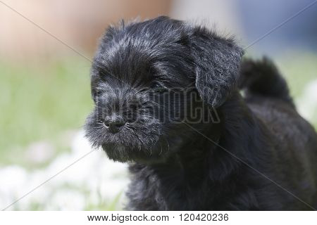 miniature scnauzer puppy