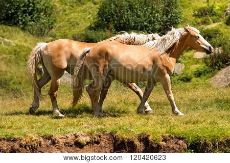 Wild Horses - National Park Of Adamello Brenta