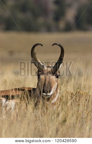 Pronghorn Buck bedded