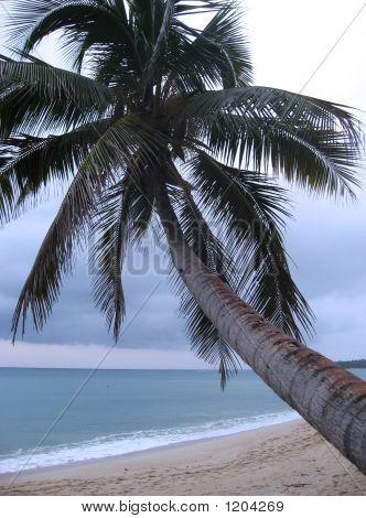 Pagudpud Palm