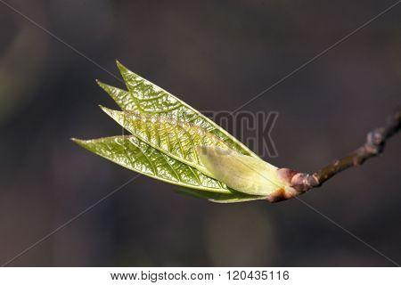 Fresh spring leaves