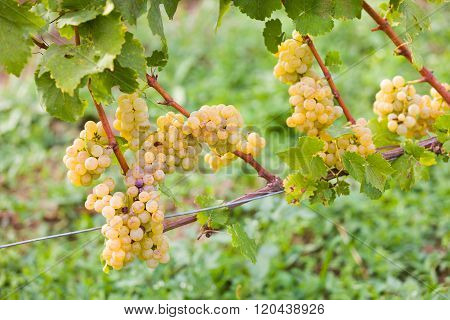 Attentively maintained white grape produce before harvesting.