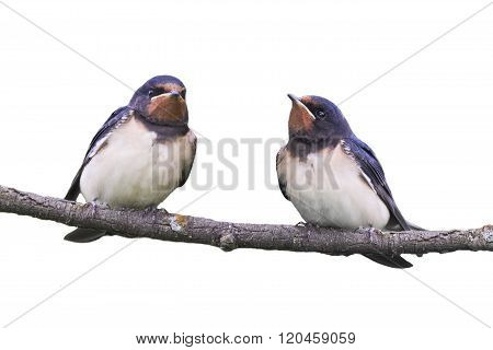 two barn swallows sitting on a branch