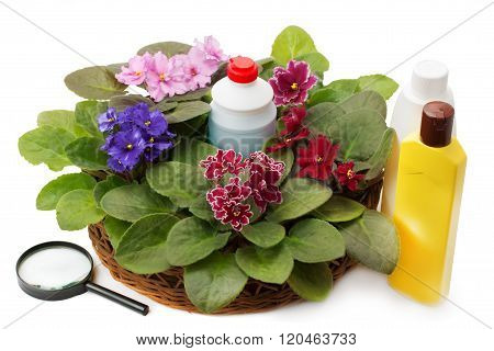 African Violet Saintpaulia Chemical Fertilizers, Pesticides And Insecticide