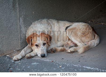 Sad Homeless Dog Lying On The Pavement. Pets
