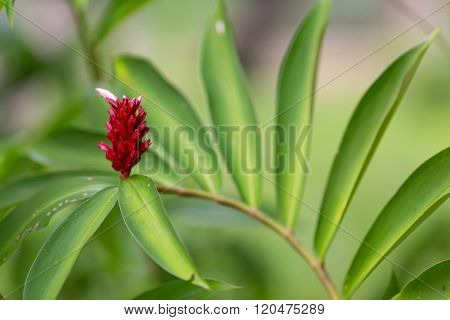 Wild ginger flower and leaves, Costus Speciousus, used in cooking and medicinal care .