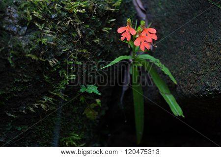 Tropical wild orchid flower Habenaria Hodocheila growing between rocks in wet area in Thailand