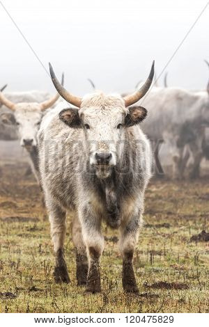 Hungarian grey cow in foggy winter, close up