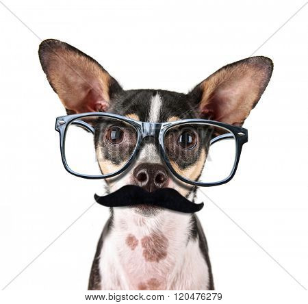 a cute rat terrier chihuahua mix isolated on a white background studio shot looking at the camera  with black frame hipster nerd glasses and a mustache