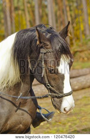 gray horse with a big white blaze on the head is in the forest