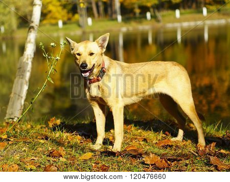yellow dog in a red collar standing on the ground covered with autumn leaves on a background of lake