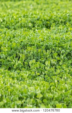 Fresh green Crimson clover (Trifolium incarnatum) field