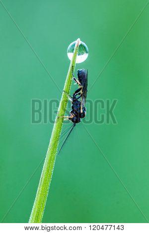 Portrait of a Ichneumon Wasp (Ichneumonidae) close up