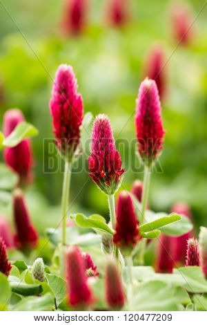 Beautiful Crimson clover flower field close up