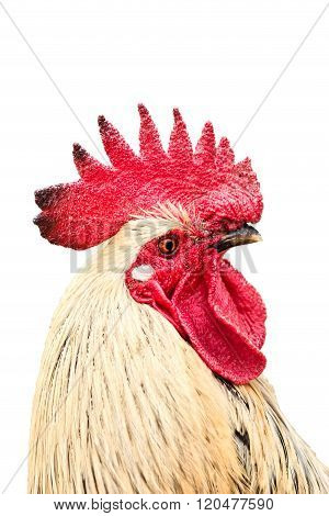 Beautiful red cock in a white background