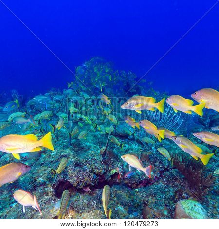 School Of Snappers, Cayo Largo