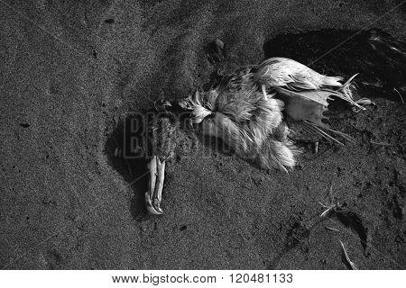 Dead sea bird seagull half buried in beach sand in Canary Islands