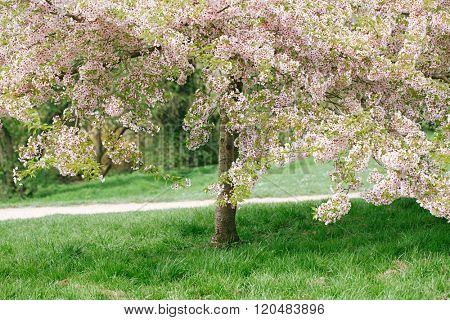 Cherry blossom tree in spring