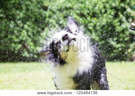Dog makes a twisted funny face as he shakes outside in summer after his bath with the hose