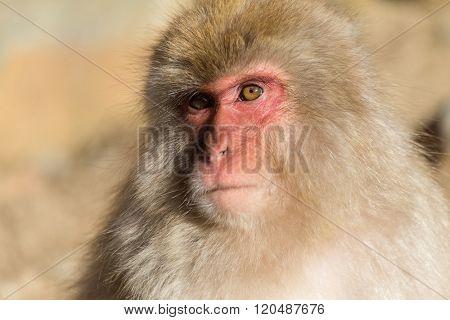 Lovely monkey in Japan