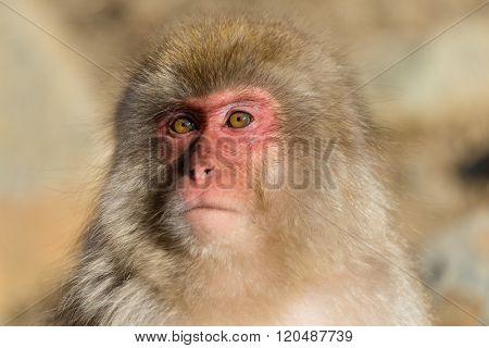Cute monkey in Japan