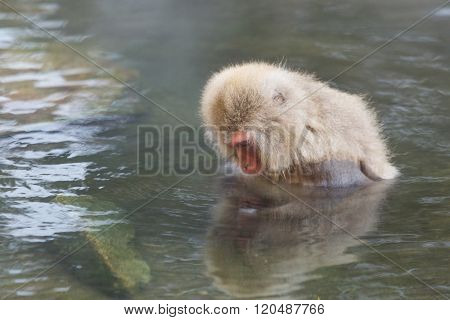 Japanese Snow monkey in hot spring