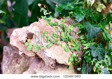 Ivy on the surface of the stone.