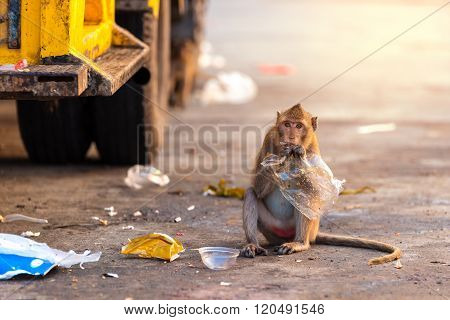 Wildlife monkey eating food from plastic bag closed to garbage truck in city.
