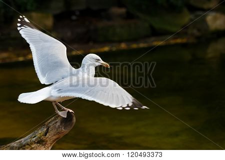 Photo of beautiful white seagull landing on a branch