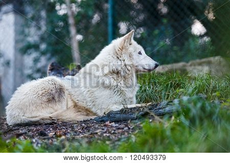 Photo of a beautiful white wolf lying on the hill