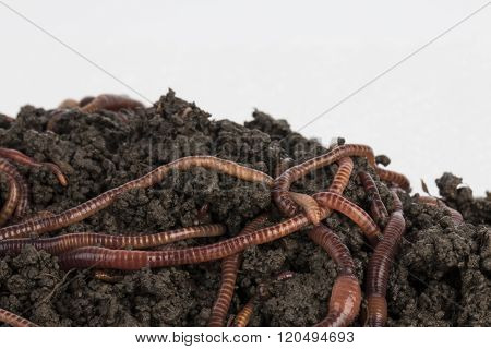 Red worms in compost.
